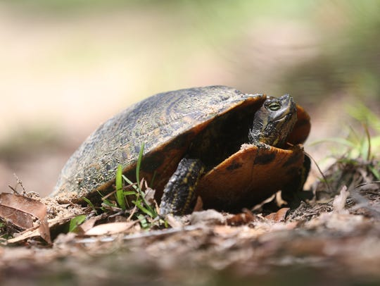 A slider turtle lays eggs along a walking trail on