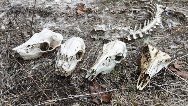 Deer bones and skulls are shown last week on private property near Panoramic Drive in Mountain Home. Arkansas Department of Environmental Quality solid waste inspector Gary Meador was cited for littering when a game camera captured him dumping deer carcasses on the property.