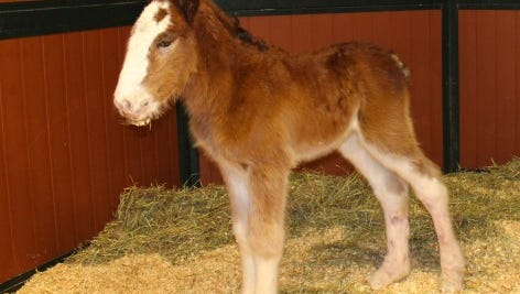 The Budweiser Clydesdales have a new family member!