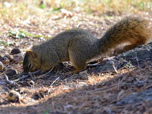 636149892781380747-squirrel-02.jpg