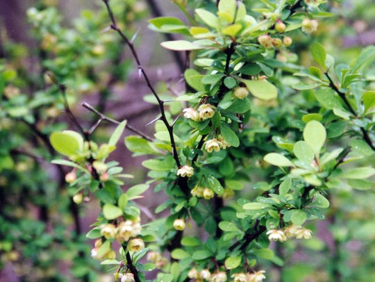 Japanese barberry, an invasive species, has 80 cultivars