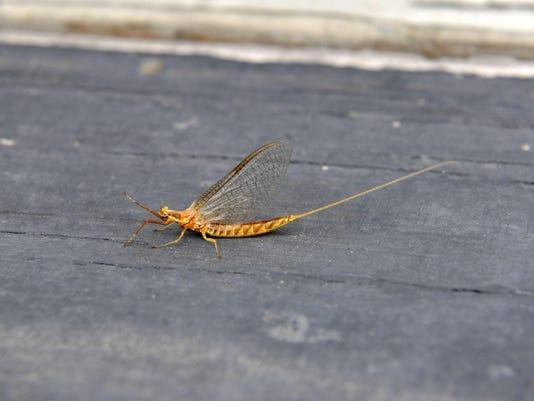 mayfly 3
