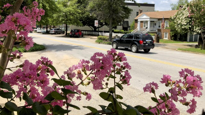 Blooming crepe myrtles frame traffic moving along the southern end of Main Avenue in Northport Friday, July 10, 2020. The crepe myrtles line the southern end of the street that runs through the historic business district.
