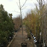 Nurseries have abundant selections of trees and shrubs for sale. Make sure you choose the variety that will complement the planting site.