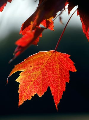 In this Sept. 12, 2012, file photo, a red leaf hangs from a tree in Greensboro, Vt.