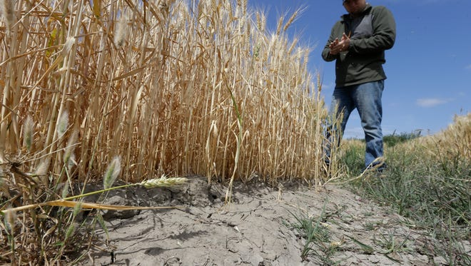 FILE - In this Monday, May 18, 2015 file photo, Gino Celli inspects wheat nearing harvest on his farm near Stockton, Calif.  Moving to meet voluntary water conservation targets, dozens of farmers in the Sacramento-San Joaquin River Delta submitted plans Monday, June 1 to the state saying they intend to plant less thirsty crops and leave some fields unplanted amid the relentless California drought, officials said. (AP Photo/Rich Pedroncelli,File)