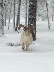 An Alaskan Dall Sheep comes out to play while the snow