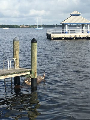 A dead manatee was found tied to a dock at Centennial Park in Fort Myers Tuesday.