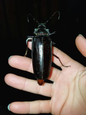 """Got over my fear and finally held one of these giant bugs!"" exclaims Susan Banovich of Ahwatukee. The palo verde beetle, which she found in her yard, is one of the largest beetles in North America and can reach more than 3 inches in length. See more of her photos at instagram.com/susanb_27."