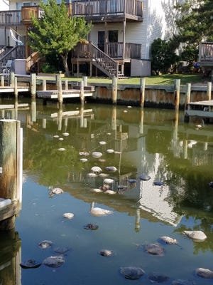Horseshoe crabs found in 94th Street Canal