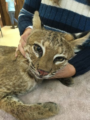 A male bobcat is rehabbing at Wildlife Haven in Crestline after getting hit by a car near Bellville on Saturday night.