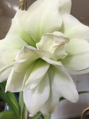 Not all amaryllis are variations of red. This pretty variety in Deb Freeman's kitchen is a creamy white with green highlights.