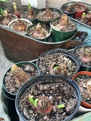 With 87 amaryllis bulbs, Deb Freeman pots them up in inexpensive plastic containers and puts them in antique metal tubs in the greenhouse to get them started after the holidays. In May, once the soil has warmed, she'll plant all the bulbs in raised beds for the summer. In fall, they get dug up and stored in cardboard boxes in the basement until the process starts over again.
