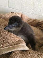 A Little Blue penguin chick contemplates life at Adventure Aquarium.