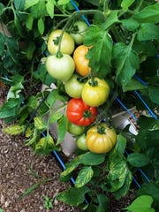 Mayse's hothouse tomatoes are ripening alongide the berries. Vine ripened and shipped only into the market next door, these flavorful fruits will make you think it's high summer.