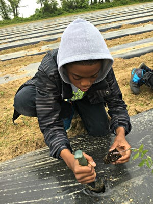 Sage Phillips, a sixth-grader from Gunning Bedford Middle School, plants tomatoes at Annual Penn Farm Day and William Penn High School May 11.