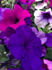 Easy Wave Plum Vein, Violet and Blue petunias mix it up in a hanging basket at Larry's Bellevue Gardens, 2620 Continental Drive.