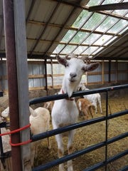 An adult goat looks over the gate into the makeshift yoga studio.