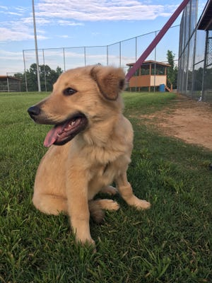 Channing is available for adoption through Jackson-based rescue Saving the Animals Together.