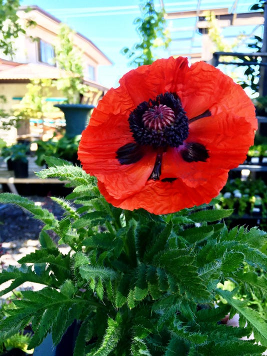Dwarf Allegro Oriental Poppy Papaver orientale 'Dwarf Allegro' by Ashley And