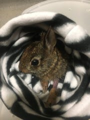 A young eastern cottontail receives care at the von