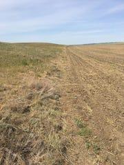 Dry furrows in the wheat fields of Daniels County in