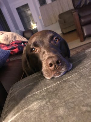 This is Gracie, a 5-year-old chocolate Labrador.