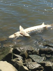 An approximately 4-foot-long sturgeon was spotted along
