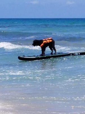 Joan DePasquale found a surfing dog at Walton Rocks Beach on Hutchinson Island.