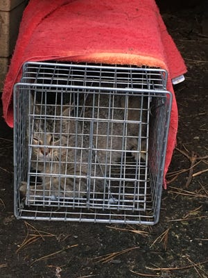 One of the cats trapped on the property waiting for transportation to the Door County Humane Society in Sturgeon Bay.