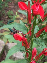 Hummingbirds are a frequent pollinator for the brilliant