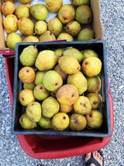 It's been a great year for pears. A single tree can