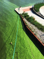 Algal blooms turn the Maumee River green in downtown Toledo on Sept. 23, 2017.