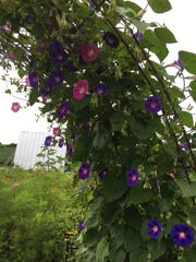 An arch leading into Kassie Steen's garden is covered in blue morning glories.