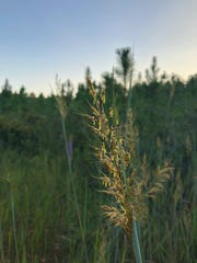 Yellow Indiangrass has golden-yellow plumes above striking