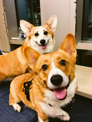 Corgis Cheddar and Eddie will both compete in the race.