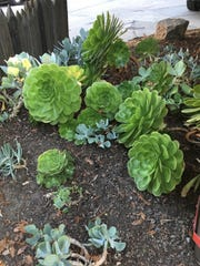 Hen and Chicks succulent plants grow best outdoors,