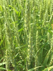 Wheat condition improved gradually through the summer