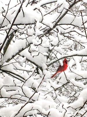 A cardinal sits in a snow-covered tree