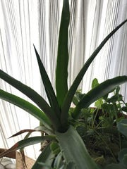 Why stop with avocado tree? This pineapple plant came from the healthy top of a pineapple carefully rooted in water.