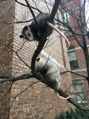 Two opossums were seen hanging in a tree outside the old county courthouse downtown Monday.