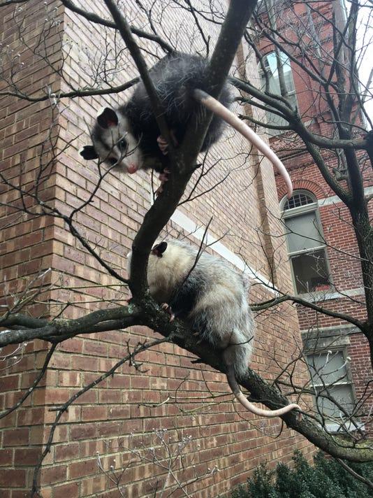 636522262107040526-opossums.JPG