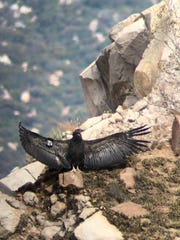 California condor chick No. 871 spreads her wings in the sun.