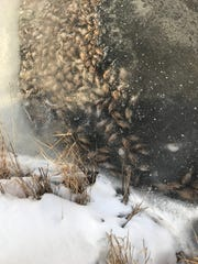 A photo taken Friday, Feb. 2, 2018 by John Darling of the Michigan Department of Natural Resources shows dead fish in an area near Harsens Island