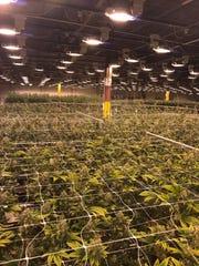 Green Man Cannabis in Aurora, Colorado runs a 118,000 square foot grow facility.