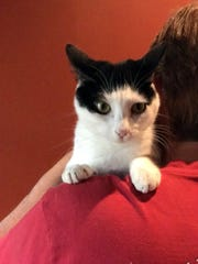 Oreo is a small, 1-year-old, spayed, female domestic