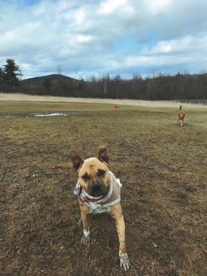 Vermonter Elizabeth Zale's dogs Matilda, 4, in the foreground and Emmy, 9, take a muddy run around the Middlebury Dog Park on April 7, 2018.
