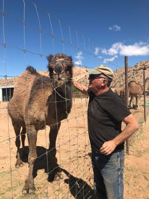 Guy Seeklus with one of the dromedary camels at the Camel Safari in Bunkerville.
