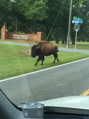This bison was spotted near Buck Lake Road Friday morning.