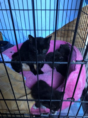 A mother cat and litter at Pets Without Parents, Sevier County's animal intake center